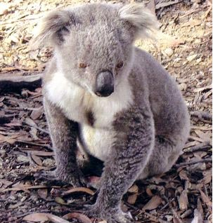 Koala photograph - Land clearing, logging and burning of our forests is the biggest threat to our koalas