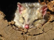 eastern-quoll-in-log.
